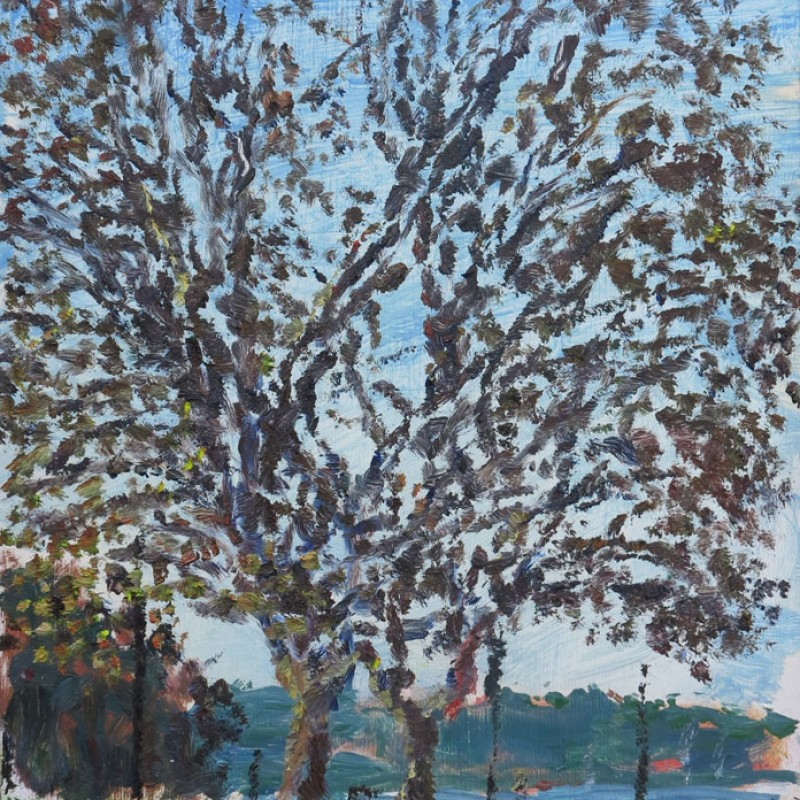 Winter Plane trees, Rushcutters Bay Park II
