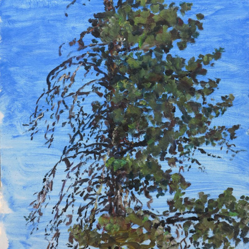 Calitris pine, Oratunga